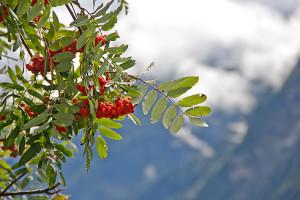 Ein bisschen Heimat: die Vogelbeere vor Alpenpanorama