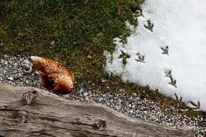 Das Huhn genießt den letzten Schnee und legt regelmäßig Eier für Frühstück und Bäckerei