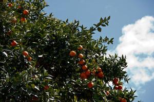 Ankunft im Hostel in Tirana - empfangen von süßen Orangen vom Baum, die einen noch süßeren Saft gaben.