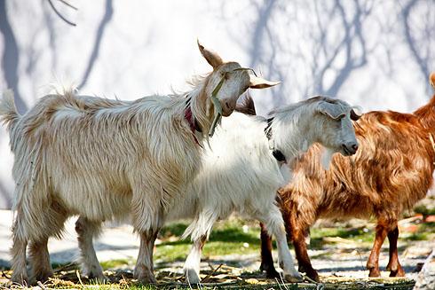 Schafherden sind in Zentral-Albanien alltäglich. Die Kultur ist von Schäfern geprägt.
